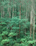 gum forest with fern understory